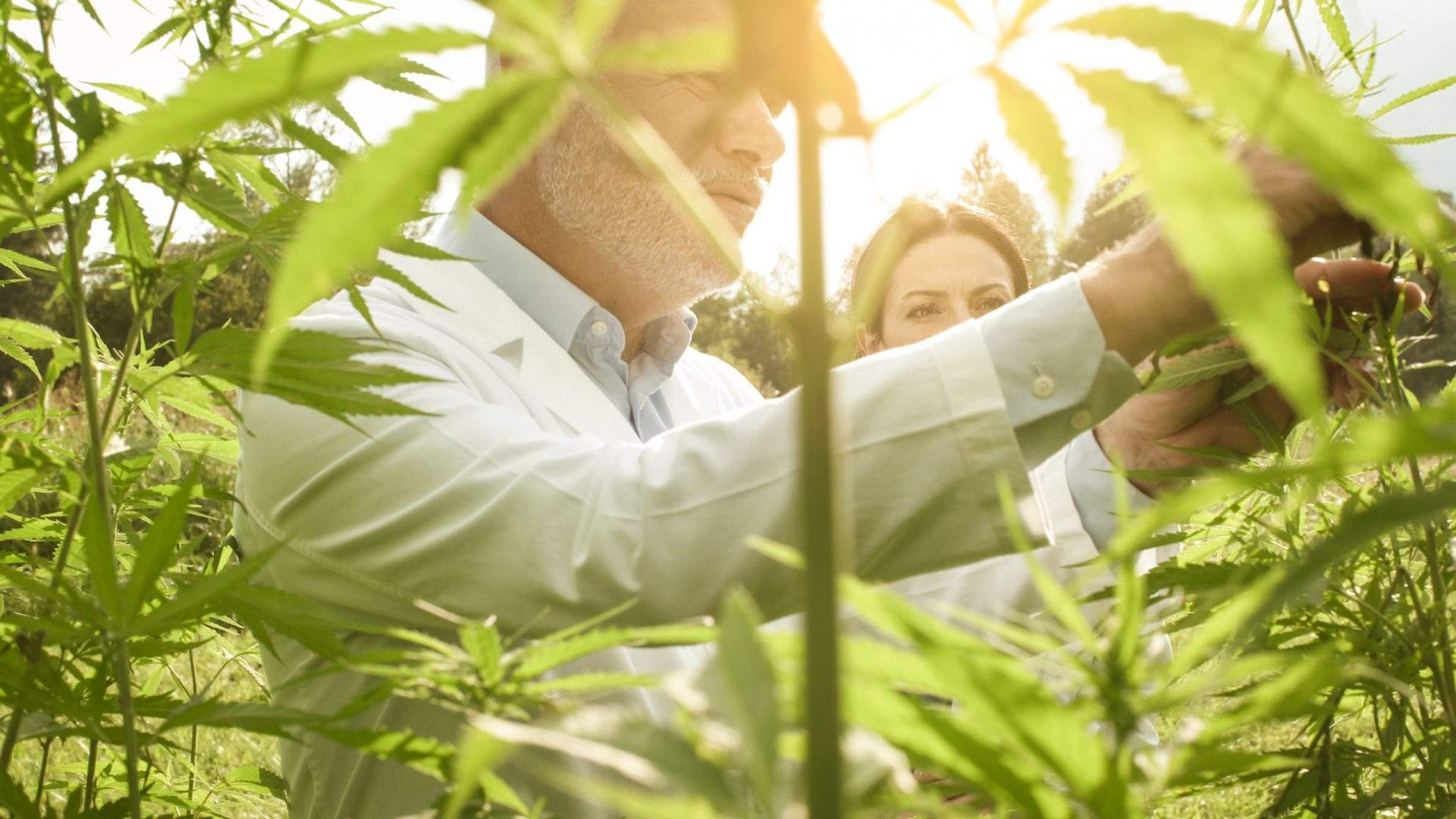inspector checking cannabis to make organic cbd oil in the UK